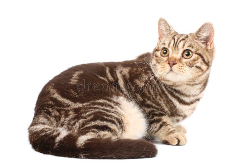 Download великобританский Tabby кота Стоковое Изображение - изображение насчитывающей великобританское, любознательно: 6863993