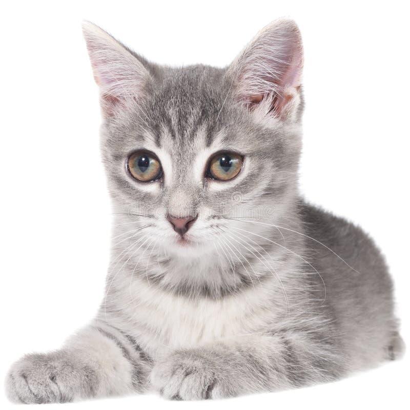 Великобританское изолированное положение котенка tabby shorthair стоковые фото