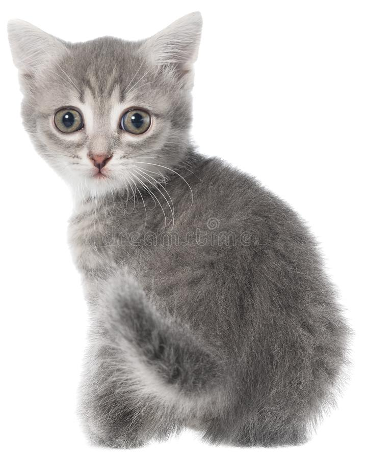 Великобританское усаживание котенка tabby shorthair стоковое фото rf