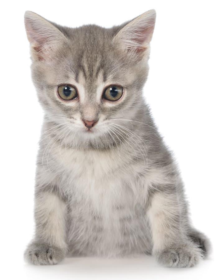 Великобританское усаживание котенка tabby shorthair стоковое изображение rf