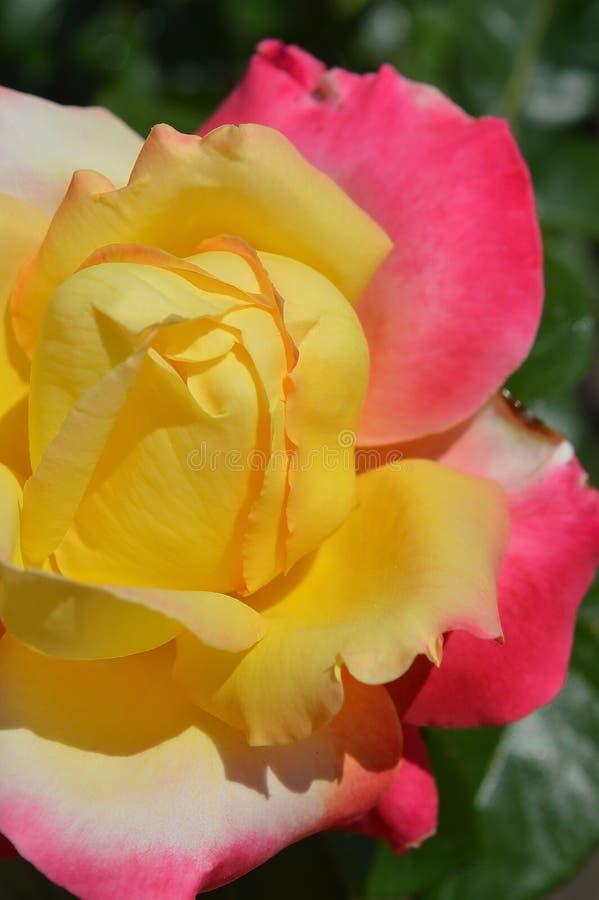 Великолепная пестротканая роза Желтый, белый и розовый стоковые фотографии rf