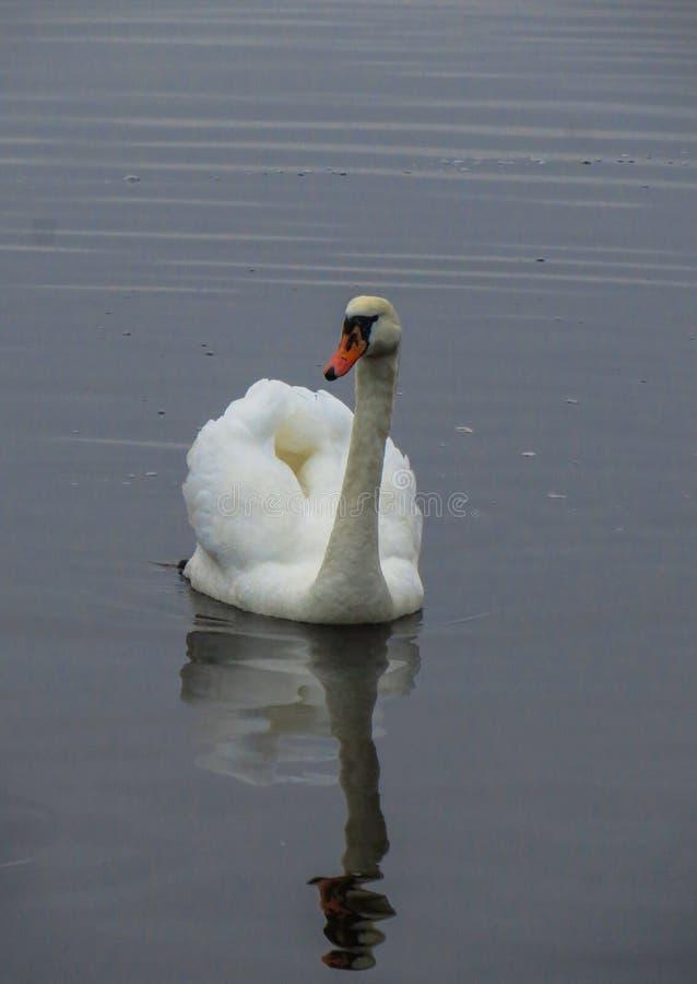 Великолепный белый лебедь против предпосылки голубой речной воды стоковое изображение
