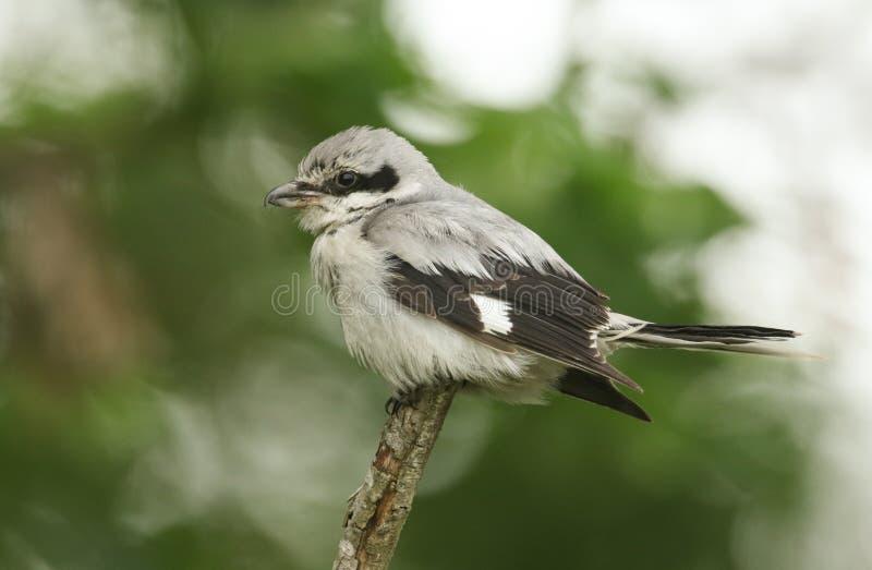 Великолепный редкий больший серый цвет Shrike, excubitor Lanius, садясь на насест на подсказке ветви на темном, ветреной, дождлив стоковые изображения
