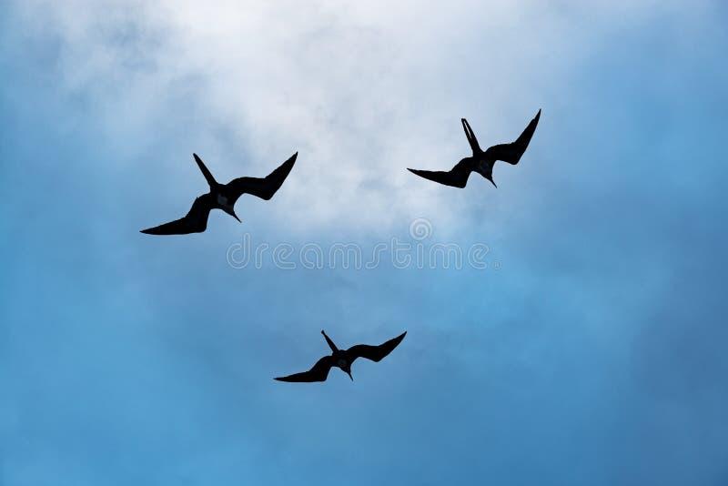 Великолепный силуэт птиц фрегата, Галапагос, эквадор стоковые изображения rf