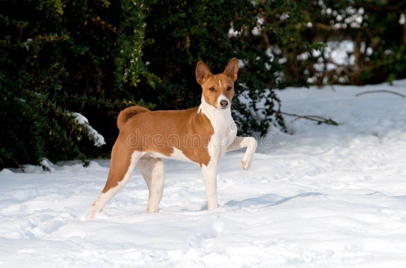 великородный снежок щенка стоковые фото