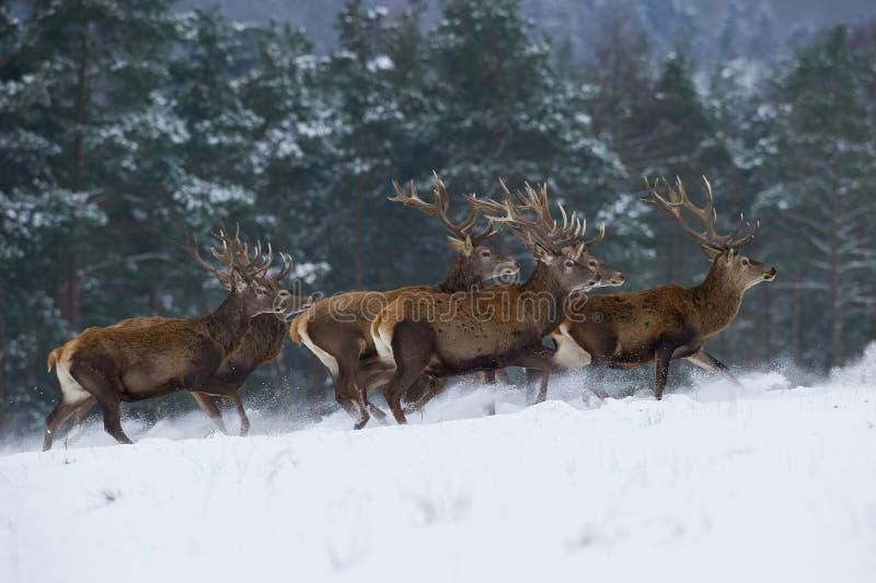 Величественное животное гордо нося его antlers стоковые изображения rf