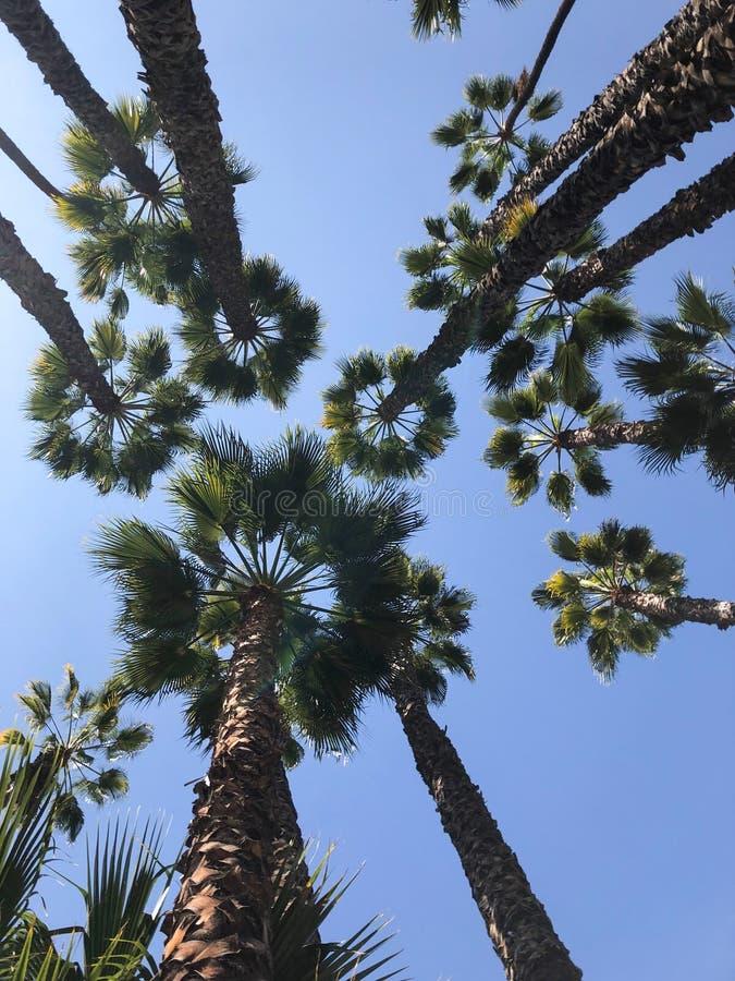величественные и гигантские тропические пальмы стоковая фотография