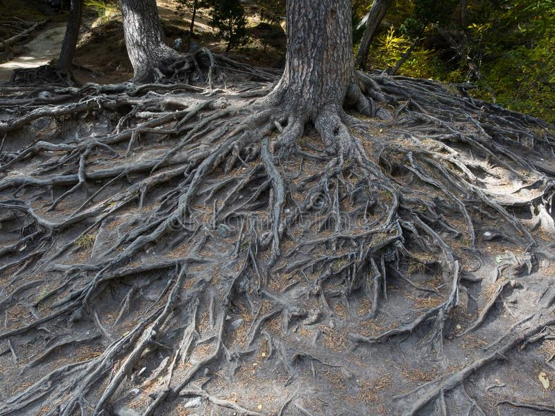 Величественные корни большого дерева подвергли действию должное к эрозии почвы стоковые фото