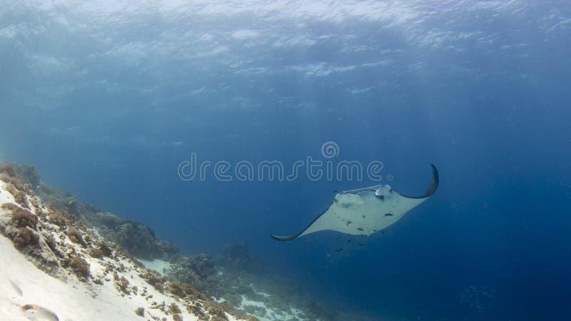 Величественный manta рифа с сопровождающими рыбами уборщика стоковое фото rf