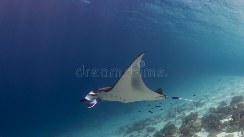 Величественный manta рифа с сопровождающими рыбами уборщика стоковые изображения