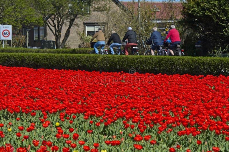 Велосипедисты проходя поле с красными тюльпанами стоковые изображения rf