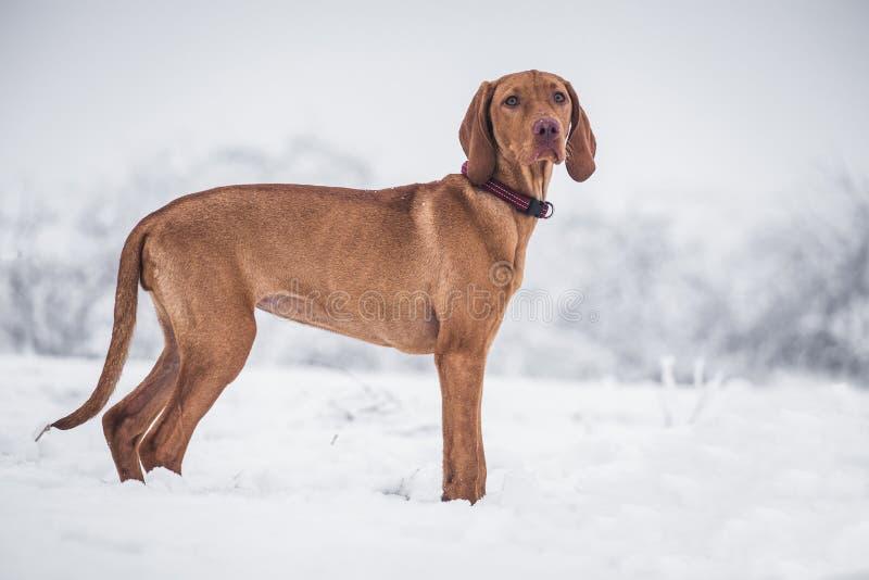 Венгерская гончая собака стоковые изображения rf