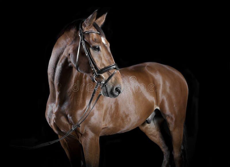 Венгерская студия лошади стоковая фотография