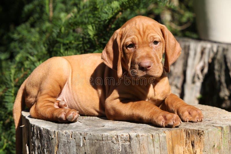Венгерский Коротк-с волосами указывая лежать щенка собаки стоковые фото