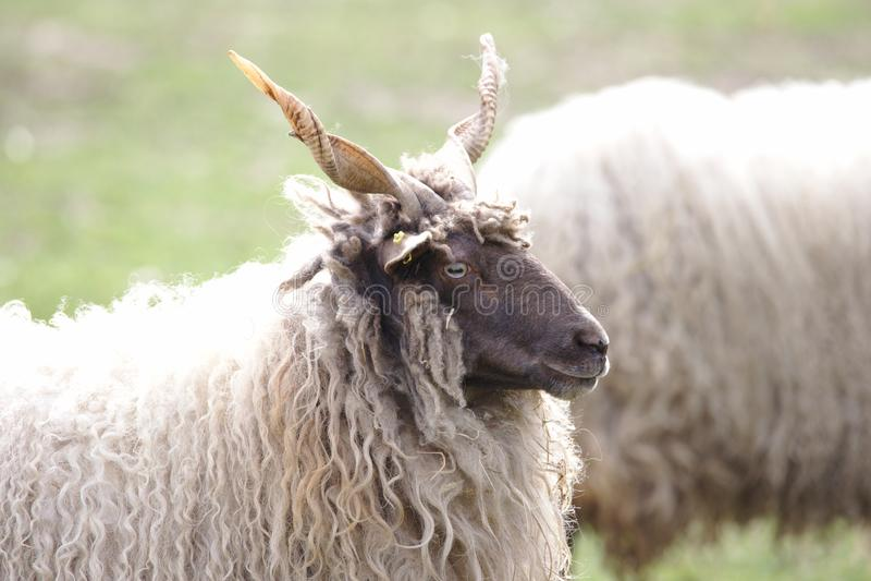 Венгерский наблюдать овец racka стоковые фото