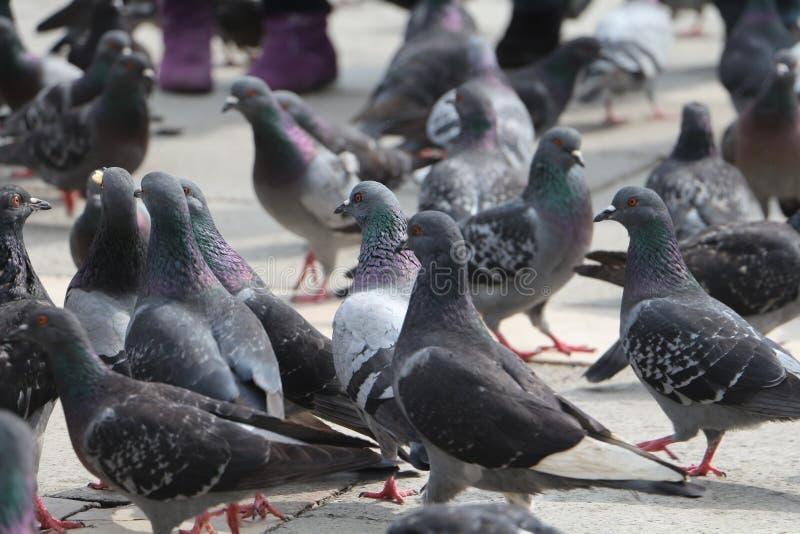 Венеция, город голубей стоковые изображения