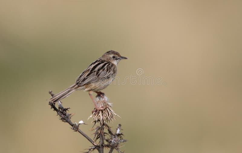 Вентилятор-замкнутая певчая птица или zitting cisticola, juncidis Cisticola стоковые изображения