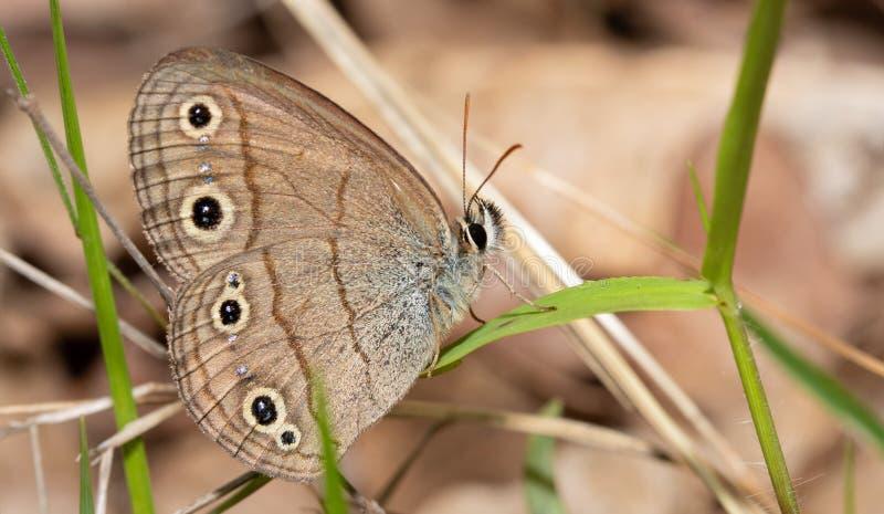 Вентральный взгляд маленькой деревянной бабочки сатира отдыхая на травинке стоковое фото rf