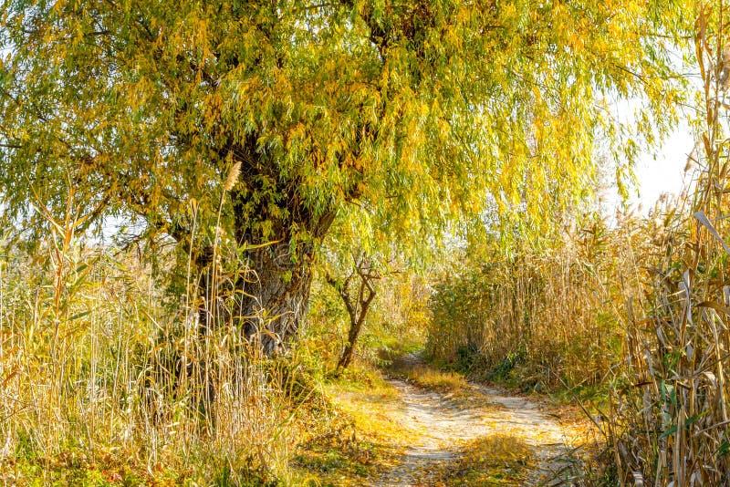 Верба ландшафта осени старая в тростниках дорогой стоковая фотография