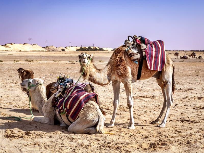 3 верблюда в покое в тунисской пустыне стоковые фотографии rf