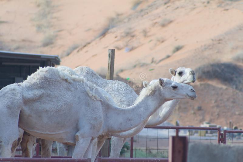 2 верблюда в ферме стоковая фотография