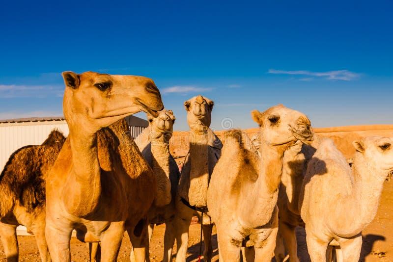 Верблюды дромадера в рынке верблюда около Эр-Рияда, Саудовской Аравии стоковая фотография