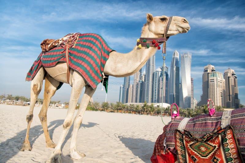 Верблюды ДУБАЙ на предпосылке небоскребов на пляже стоковое изображение
