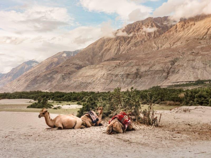 Верблюды принимают остатки в части пустыни долины Nubra стоковое изображение rf