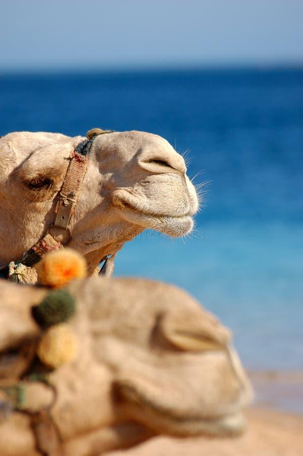 верблюды смотрят на 2 стоковое фото rf