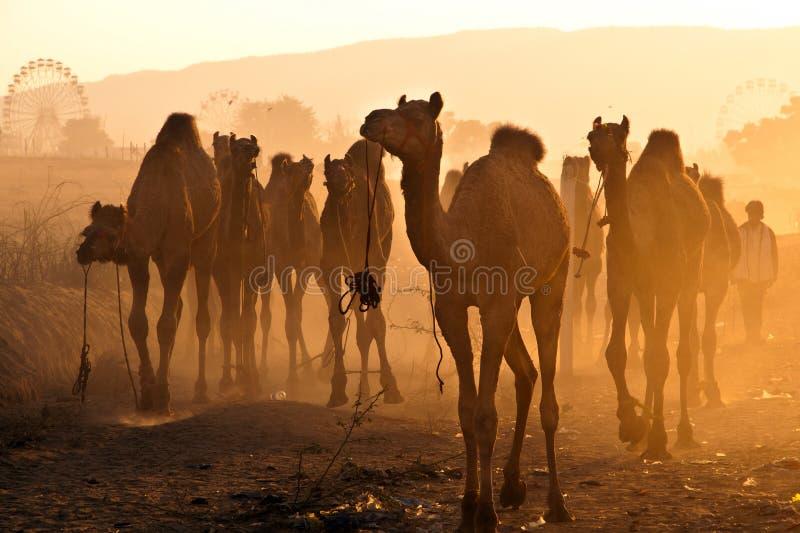 верблюды справедливо pushkar стоковое изображение