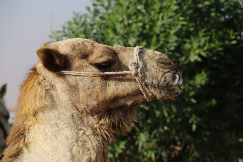 Верблюд без свободы стоковое фото