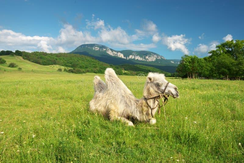 Верблюд в луге горы стоковое изображение rf