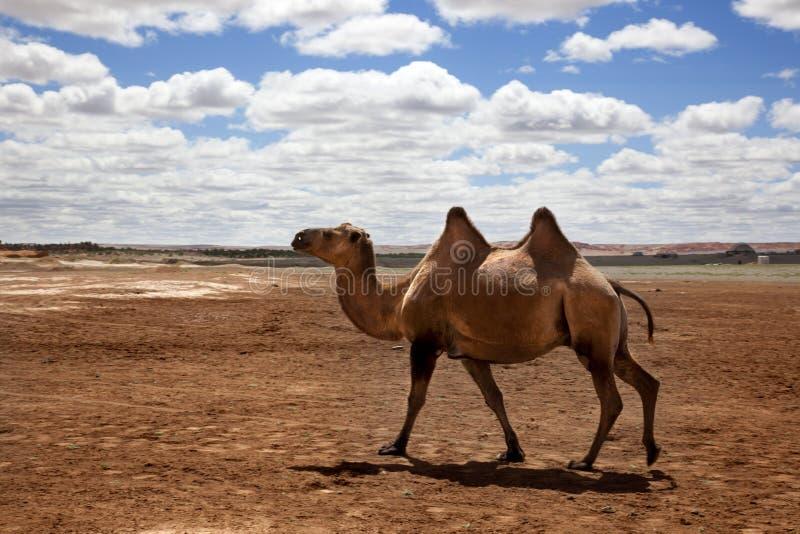 Верблюд в пустыне Гоби стоковые фотографии rf