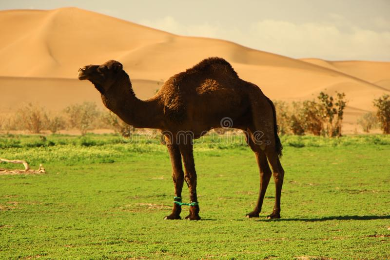Верблюд в пустыне стоковое фото rf