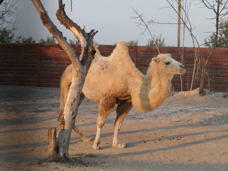 Верблюд в пустыне стоковое фото