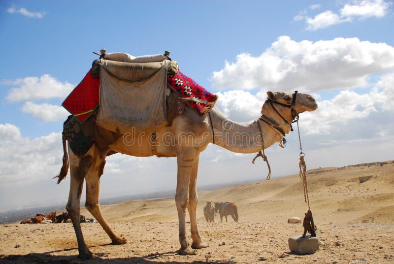 Верблюд в пустыне стоковые фотографии rf