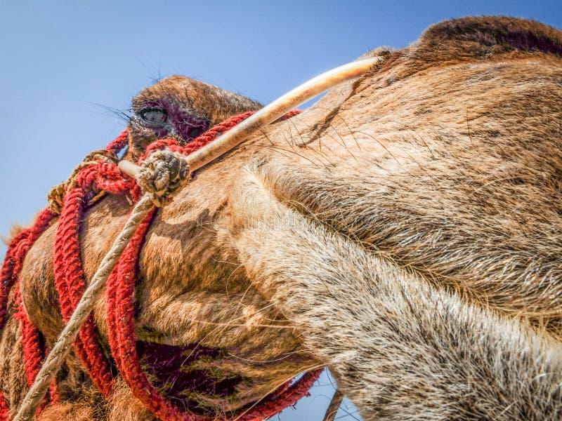 Верблюд для туристов, конец-вверх стороны, пляжа Gokarna, Karnataka, Индии стоковые фото