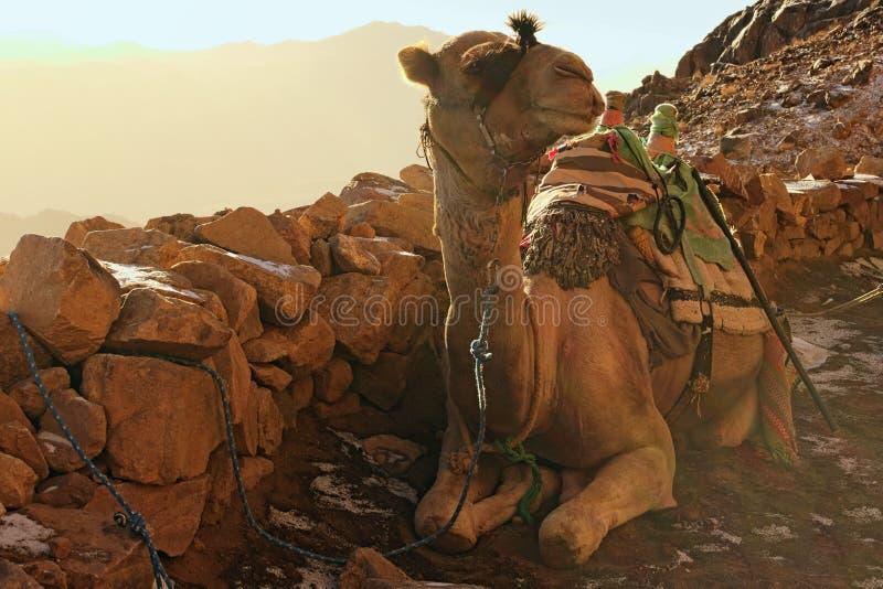 Верблюд для туристских отключений Животные ожидания для уставших туристов, который нужно принять их к верхней части горы Синай стоковые изображения