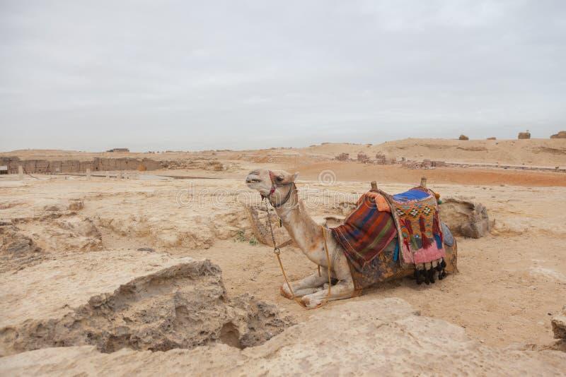 Верблюд Египет Каир стоковое фото