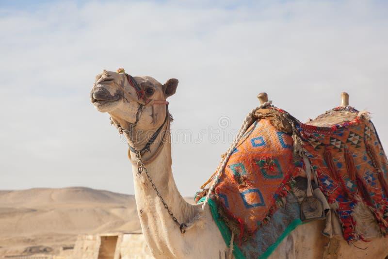 Верблюд Египет Каир стоковое фото rf