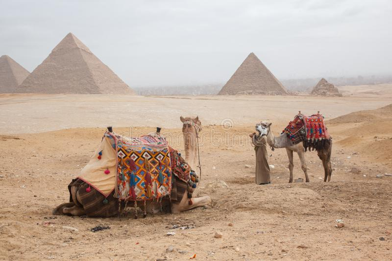 Верблюд Египет Каир стоковые фото