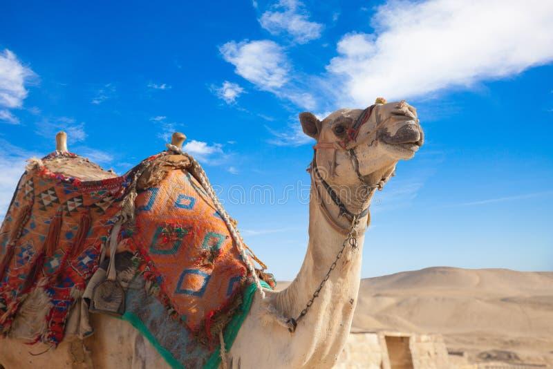 Верблюд Египет Каир стоковая фотография rf
