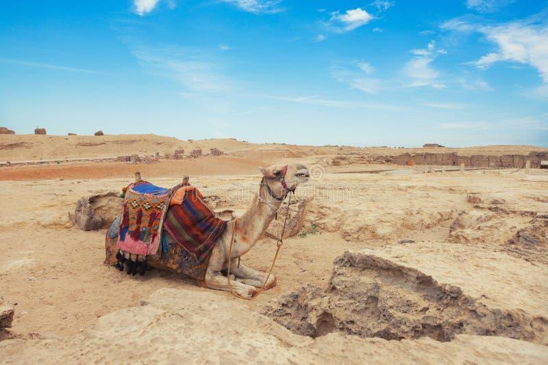 Верблюд Египет Каир стоковое изображение rf