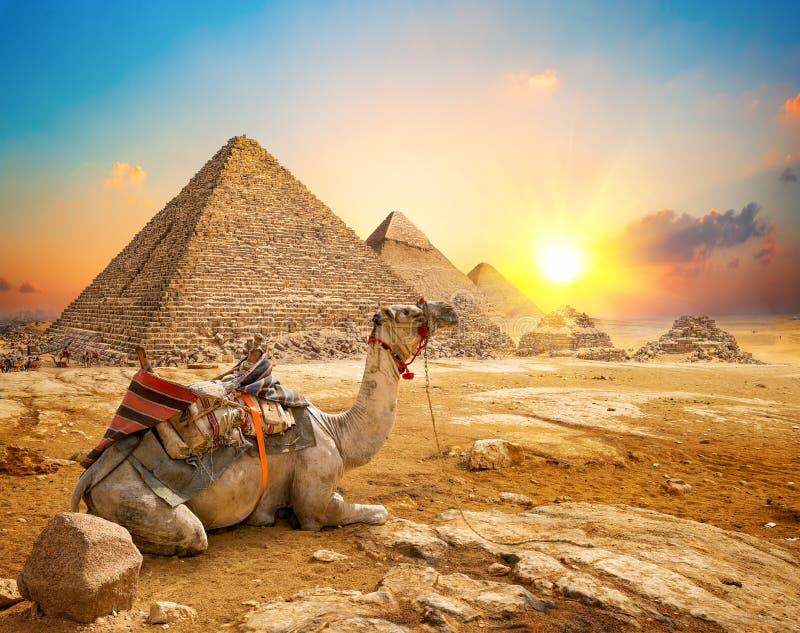 Верблюд и пирамиды стоковые изображения
