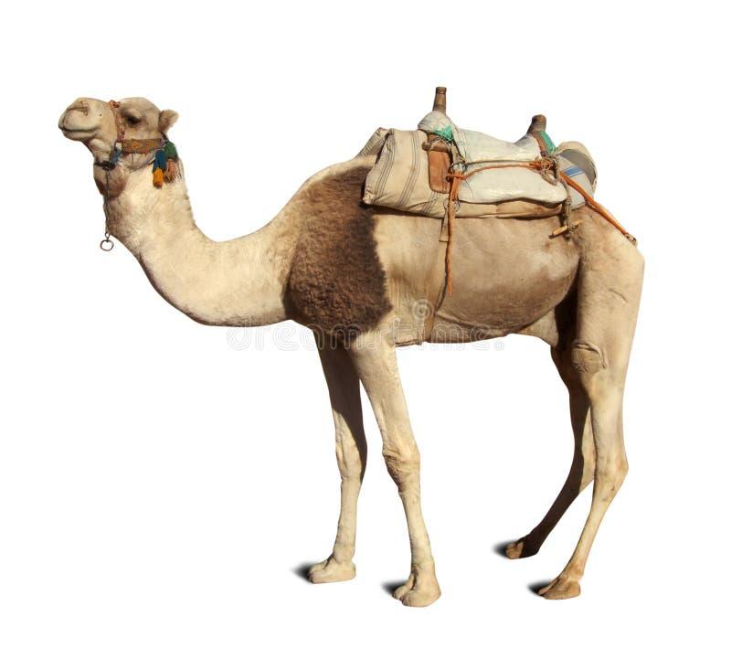 верблюд над белизной стоковые фотографии rf