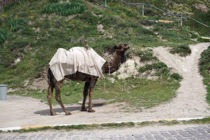 Верблюд стоя на том основании на открытом воздухе с горой Goreme стоковое фото rf