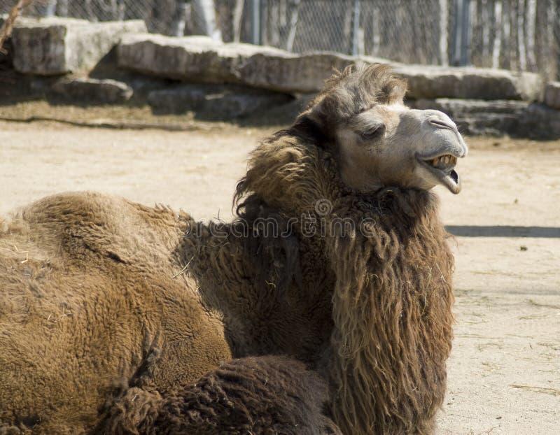 верблюд уродский стоковое изображение