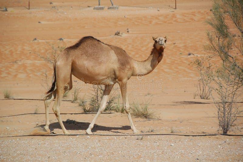 Верблюд, Arabian (dromedarius Camelus) стоковое фото