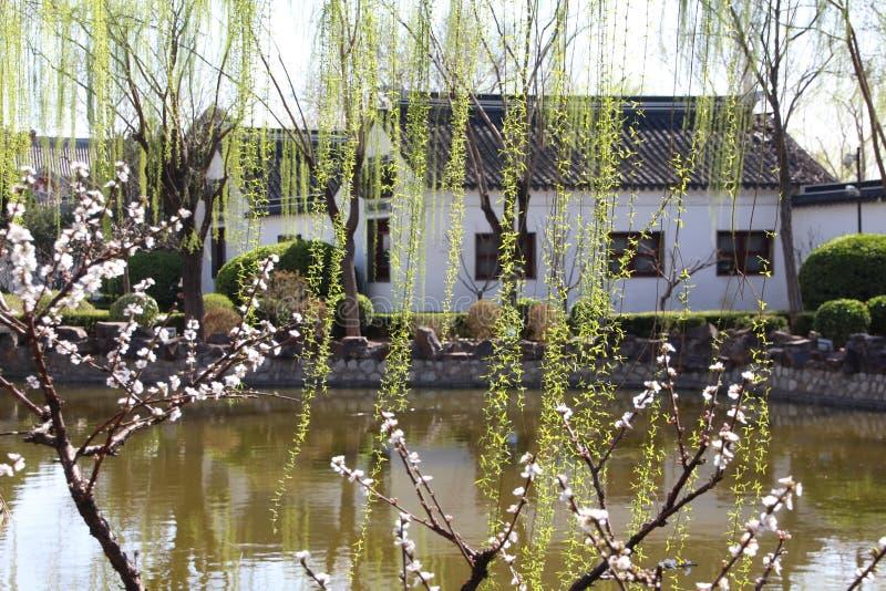 Вербы пуская ростии весной стоковое изображение rf