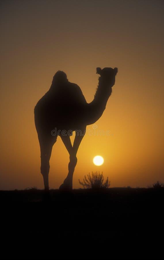 Верблюд аравийца или дромадера, dromedarius Camelus стоковые фотографии rf